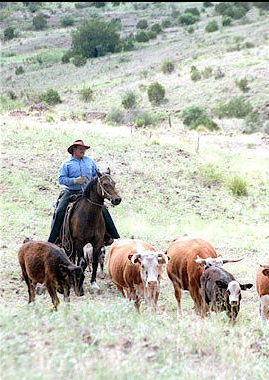 Trey driving cattle